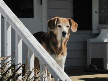 Sniffy (13 years young) will share her porch with well behaved canine guests.