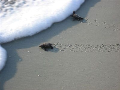 Loggerhead sea turtle hatchlings crawling to the surf