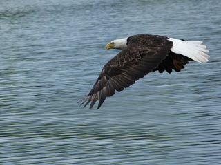 Crosslake cabin photo - Eagle soaring over the lake