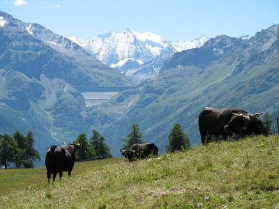 Swiss Cows, bells ringing, on Alpine Meadows.