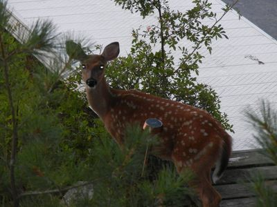 Spider Lake cabin rental - Spider Lake Fawn!