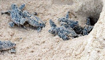 Turtles beginning to come out of nest in front of condo in August, 2011