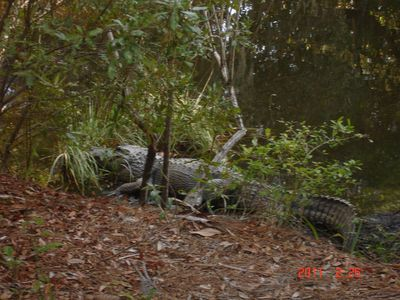 Kiawah Island villa rental - Alligators in the Area