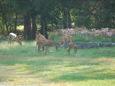 Local deer herd, they LOVE watermelon rind!