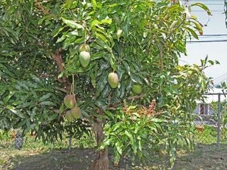Keauhou studio photo - Mango tree