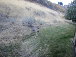 Cottonwood Heights condo photo - DEER right out the condo window/patio....hi little buddy!