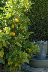 Santa Barbara house photo - Fresh fruit from the trees. Citrus juicer inside.