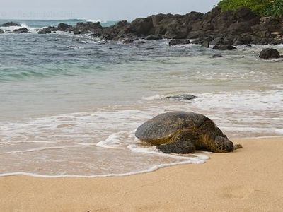 Huge green Sea Turles sunbathing at Lani's - 10 minute drive away