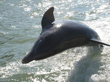 Dolphin dancing in the Gulf of Mexico chasing our boat