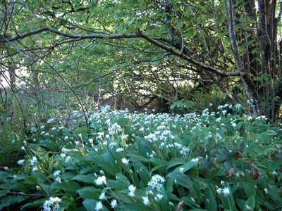 Wild garlic in springtime