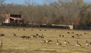 Albuquerque house photo - Open space with geese feeding.