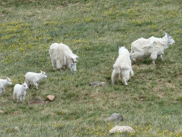 Wild Rocky Mountain Goats on the Beartooth Highway