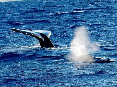 Humpback Whales put on an amazing show every Winter in your own back yard!
