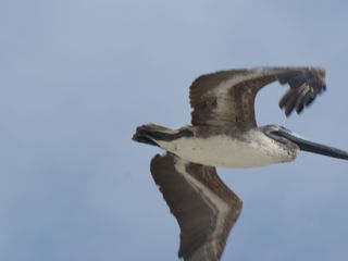Gulf Shores cottage photo - Brown Pelican