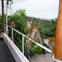 Manuel Antonio villa photo - Titi Monkeys . . Dancing on Casa Tranquila's balcony