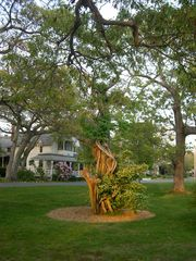 Oak Bluffs house photo - Historic 'Consecrated Tree' in the park in front of our house