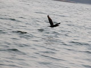 Beals - Great Wass Island cabin photo - Cormorant flying through the cove
