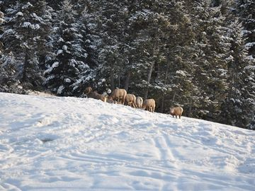 Big Horn Sheep huddled in our back yard