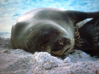 Makaha condo photo - Monk seal that shares our beach