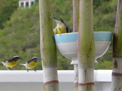Watch the Bananaquits in the sugar water the deck