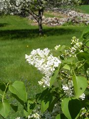 Alton farmhouse photo - The aroma of white and purple lilacs from antique bushes fill the spring air!