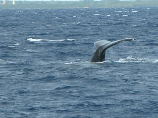Maalaea condo photo - Whales!