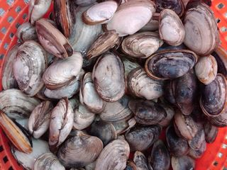 Narragansett estate photo - Island caught steamer clams.