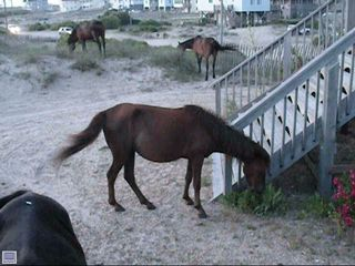 Carova house photo - Wild Horses Make housecall