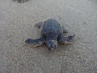 Troncones estate photo - Hatchling Sea Turtle