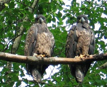 A pair of eagle chicks, an active eagles nest is located nearby, firepit & wood