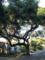 Fernandina Beach townhome photo - majestic live oaks dwarf buildings.