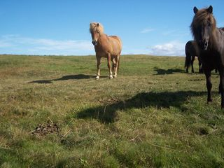 Northwest Iceland apartment photo - Icelandic ponies