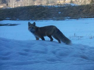Beaver Creek house photo - See red fox hunting on the golf course. This fox was on the patio.