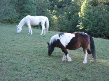 Your friendly neighbors, Hakima and Princess the Arabian mare and Shetland pony.