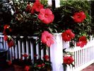 HARDY HIBISCUS BLOOMS - Provincetown condo vacation rental photo