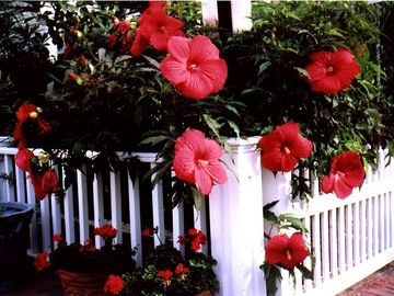 Provincetown condo rental - HARDY HIBISCUS BLOOMS