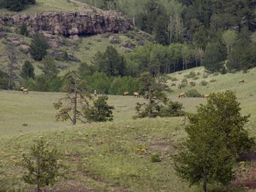 Elk grazing on Aspen Creek Ranch