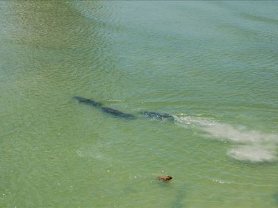 Watch Manatees and dolphin play from your balcony.