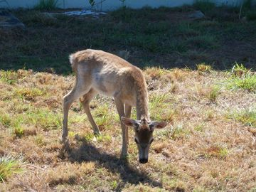 Key Deer, Big Pine Key