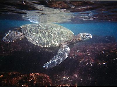 Enjoy watching as the honu (Hawaiian sea turtles) slowly swim close to the shore