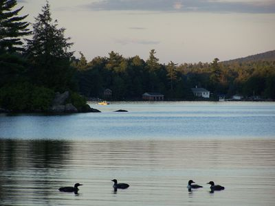 Pairs of Loons Parading by the Dock