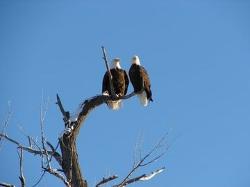 Aren't these Yellowstone Eagles Great!!!