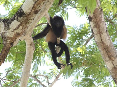 Hang out with the local Howler monkeys. Nature trips, volcanoes, national parks!