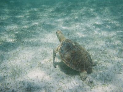 Swim with sea turtles in Akumal bay. This picture taken 50 yards from shore.