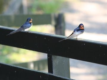 visiting swallows at The Crannog