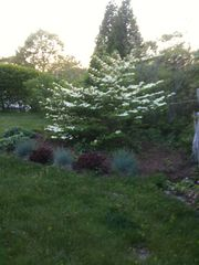 Chilmark house photo - Fragrant viburnum
