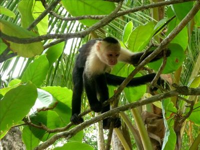 Curious monkey in Manuel Antonio National Park