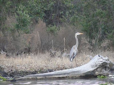 A beautiful local Blue Heron