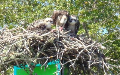 Bird life on the Marco River: Osprey chicks