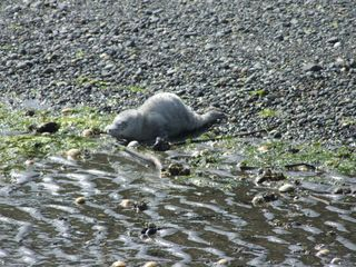 Langley house photo - Baby seal waiting for mom to bring food. Stay 50 feet away, mom will be back.